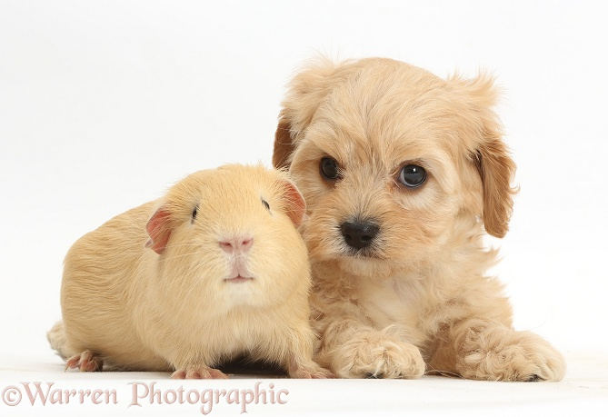 Cute Cavapoo pup and yellow Guinea pig, white background