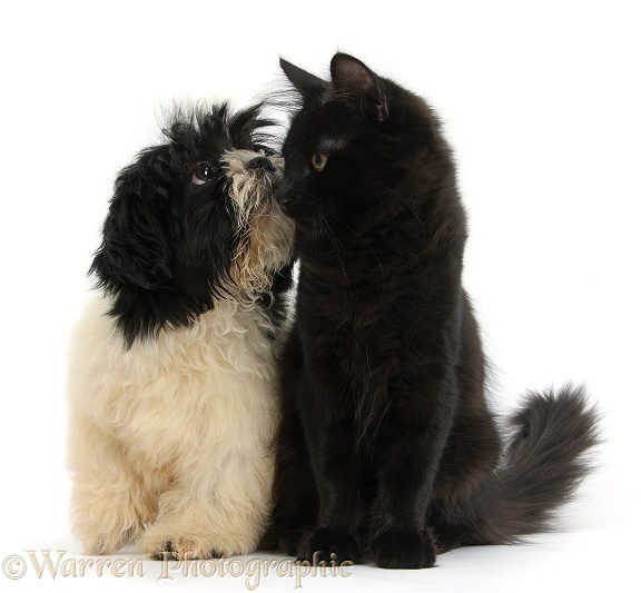 Black-and-white Shih-tzu pup and black Maine Coon kitten, white background