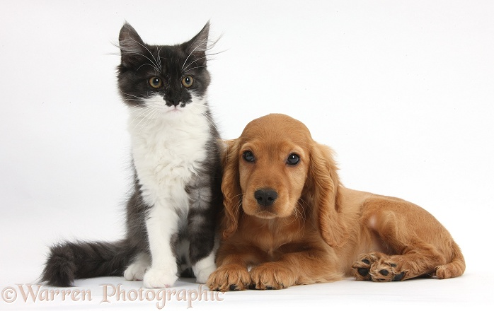 Golden Cocker Spaniel puppy, Maizy, with dark silver-and-white Maine Coon kitten, white background