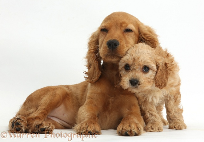 Golden Cocker Spaniel puppy, Maizy, snuggling up to a cute Cavapoo puppy, white background