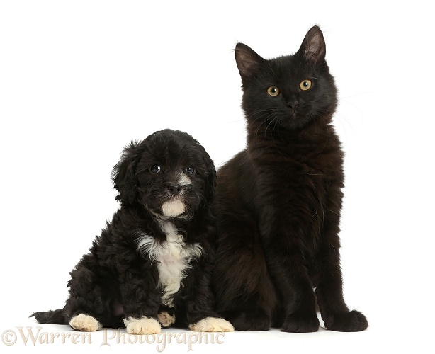 pets fluffy black kitten with blackandwhite puppy photo