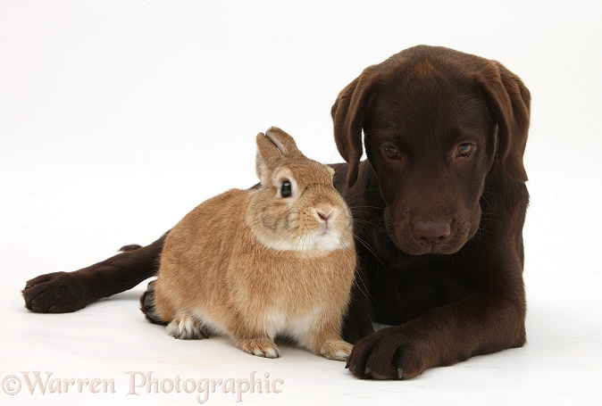 Chocolate Labrador pup, Inca, and Netherland-cross rabbit, Peter, white background