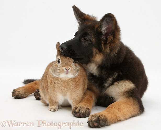 German Shepherd Dog bitch pup, Coco, 14 weeks old, with Netherland dwarf-cross rabbit, Peter, white background