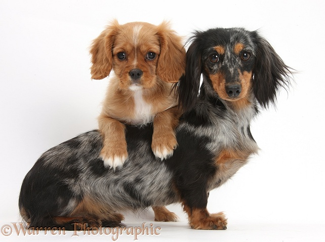 Cavalier King Charles Spaniel pup, Star, with black-and-tan Dachshund bitch, Puzzel, white background