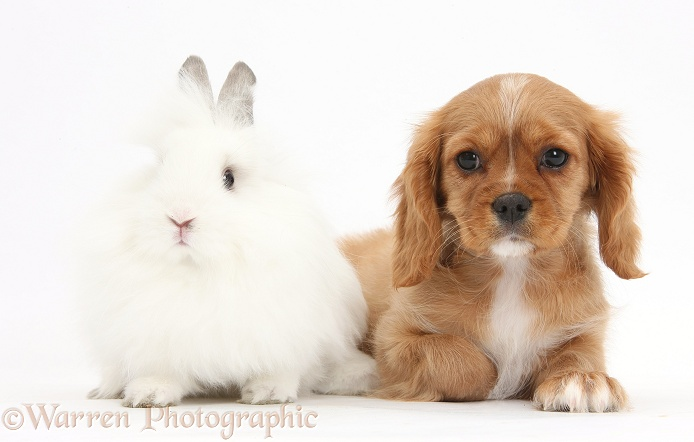 Cavalier King Charles Spaniel pup, Star, with white rabbit, white background