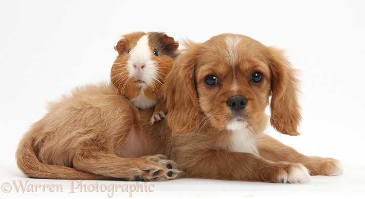 Cavalier King Charles Spaniel pup, Star, with Guinea pig, Amelia, white background