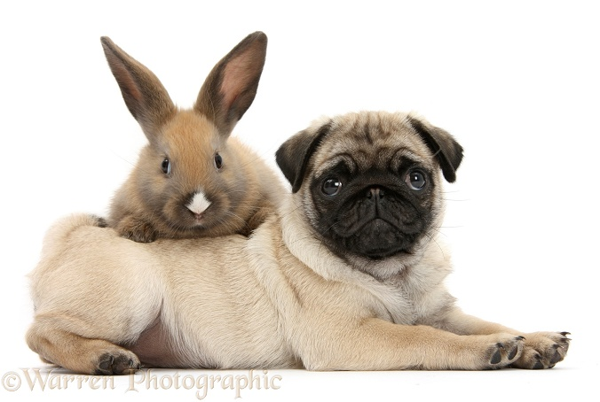 Fawn Pug pup, 8 weeks old, and young rabbit, white background