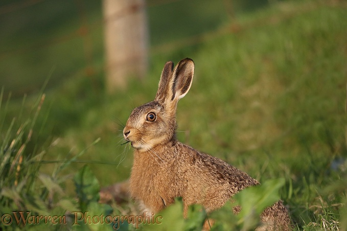 Brown Hare (Lepus capensis) sub-adult