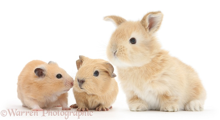 Baby yellow Guinea pig and Golden Hamster with baby sandy Lop rabbit, white background