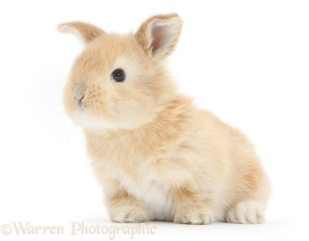 Baby sandy Lop bunny, white background