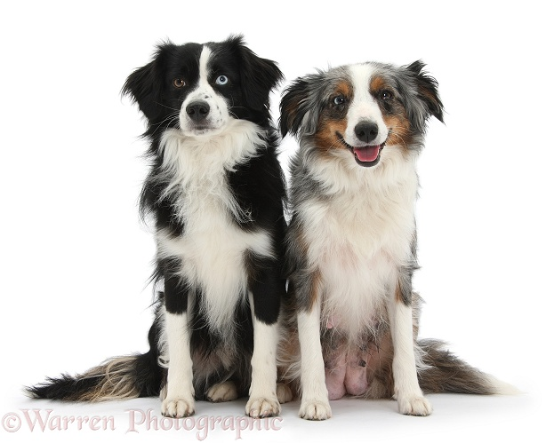 Black-and-white Miniature American Shepherd dog, Mac, and tricolour merle bitch, Yana, white background