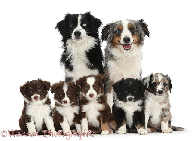 Black-and-white Miniature American Shepherd dog, Mac, and tricolour merle bitch, Yana, with their five puppies, 6 weeks old, white background