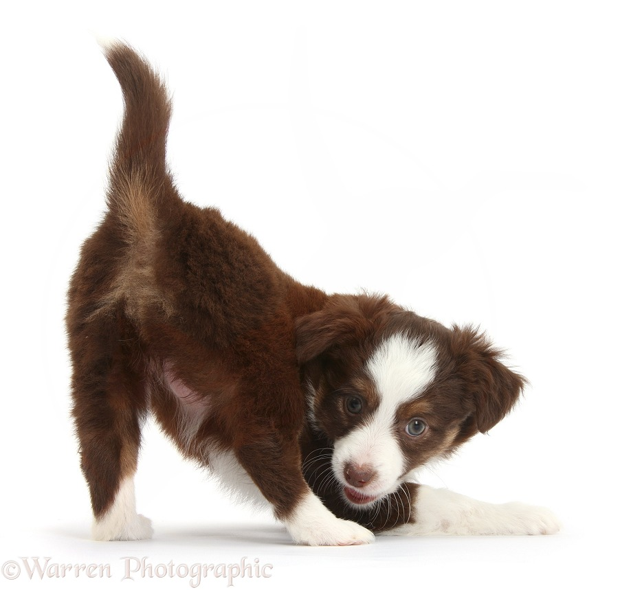 Chocolate-and-white Miniature American Shepherd puppy, 6 weeks old, in play-bow stance, white background