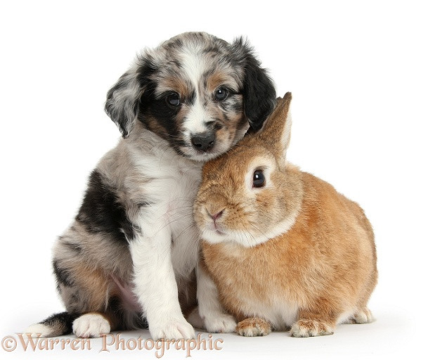 Merle Miniature American Shepherd puppy, 6 weeks old, and Netherland Dwarf-cross rabbit, Peter, white background