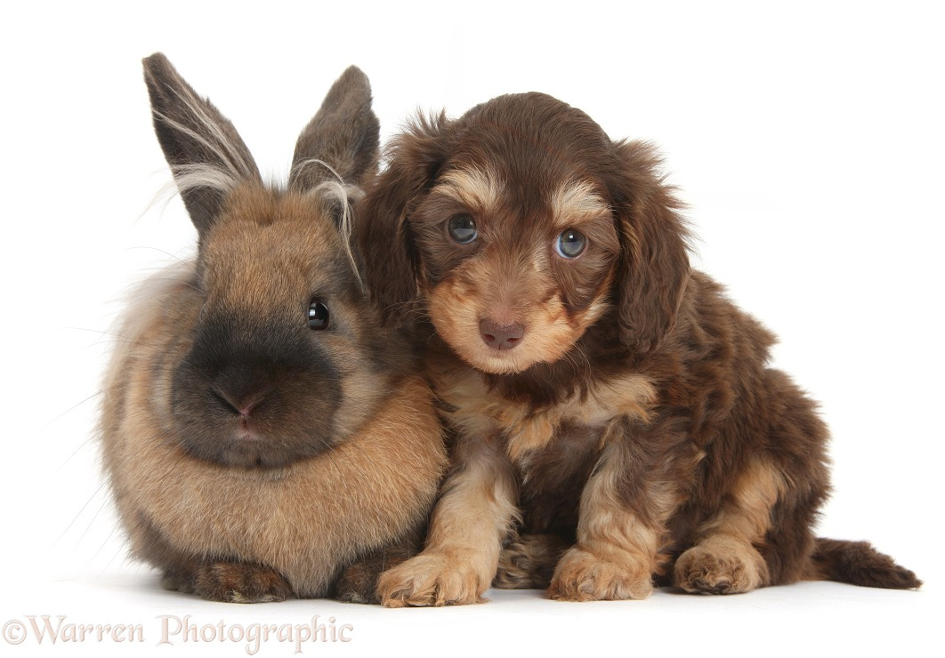 Cute Daxiedoodle puppy and rabbit, white background
