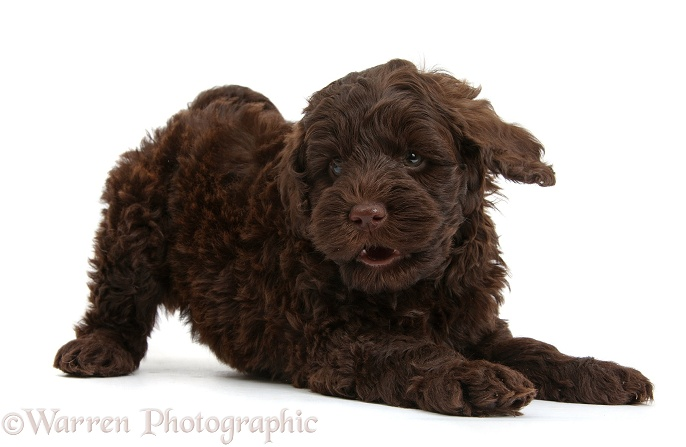 Cute chocolate Toy Goldendoodle puppy in play-bow, white background
