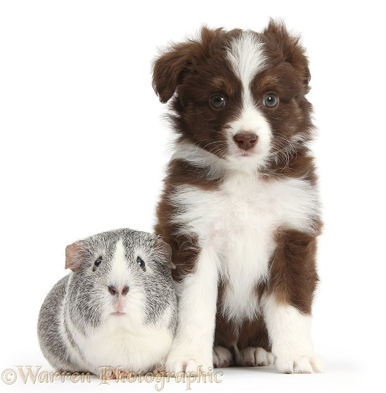 Chocolate-and-white Miniature American Shepherd puppy, 6 weeks old, with silver-and-white Guinea pig, white background
