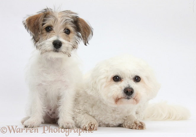 Bichon Frise bitch, Pipa, with Bichon x Jack Russell Terrier puppy, Bindi, 12 weeks old, white background