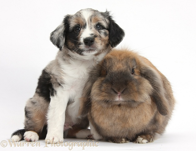 Merle Miniature American Shepherd puppy, 6 weeks old, and Lionhead Lop rabbit, Dibdab, white background