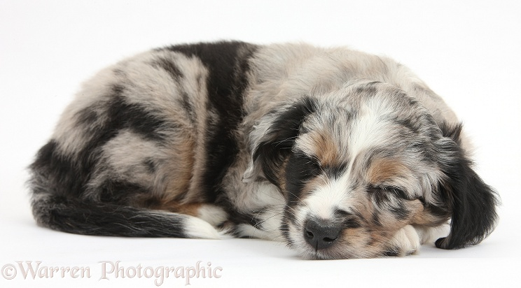 Sleeping merle Miniature American Shepherd puppy, 6 weeks old, white background