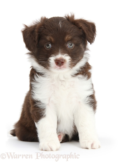 Chocolate-and-white Miniature American Shepherd puppy, 6 weeks old, sitting, white background