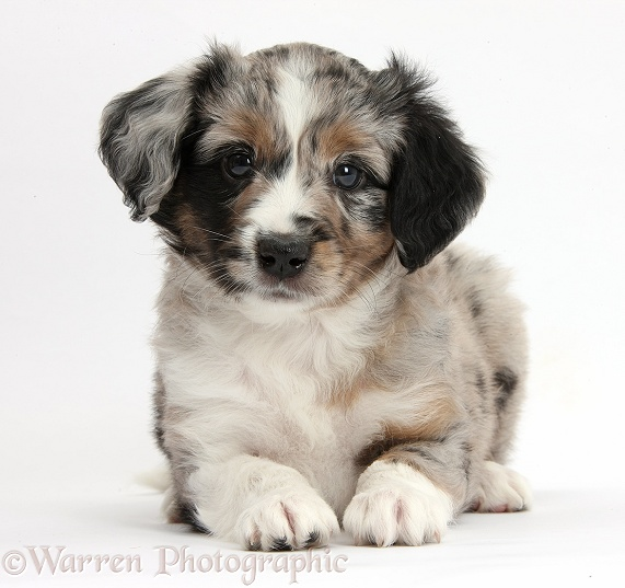 Merle Miniature American Shepherd puppy, 6 weeks old, lying with head up, white background