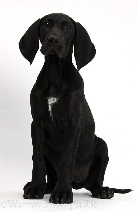 Black Great Dane Puppy WP38458 Black Pointer ...
