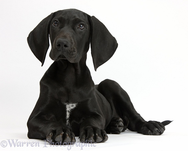 Pointer Dog Breed Information and Pictures