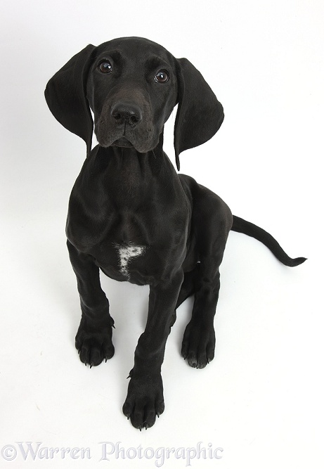 Black Pointer puppy, Hesta, 13 weeks old, sitting and looking up, white background