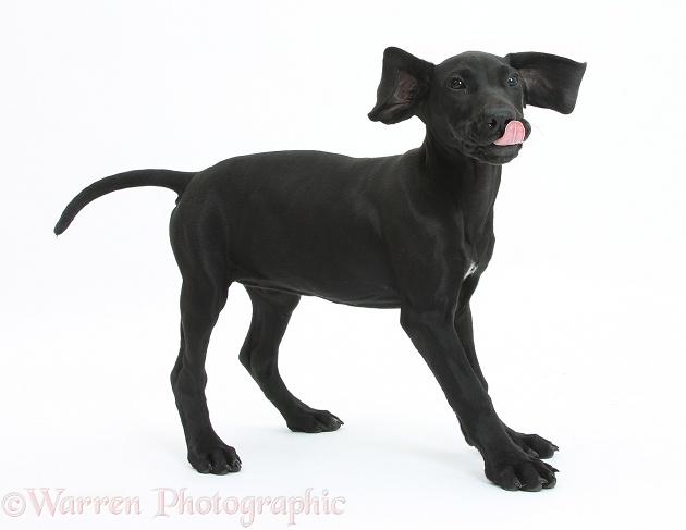 Black Pointer puppy, Hesta, 13 weeks old, ears flapping and tongue out, white background