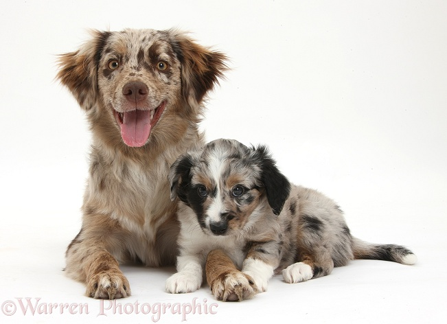 Red Merle Miniature American Shepherd bitch, Bliss, 6 months old, with a puppy, white background