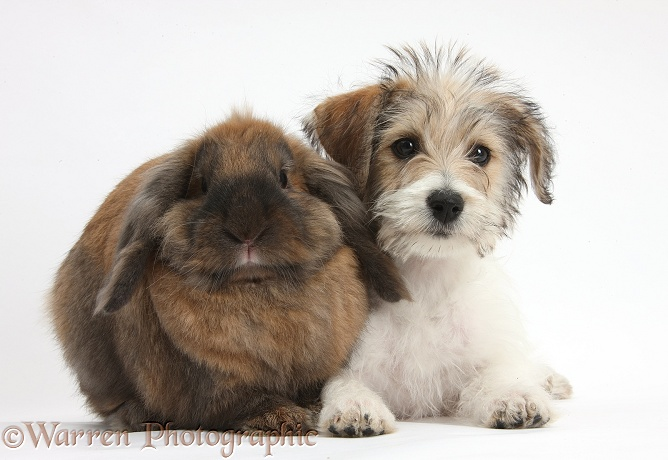Bichon Frise x Jack Russell Terrier puppy, Bindi, 12 weeks old, with Lionhead Lop rabbit, Dibdab