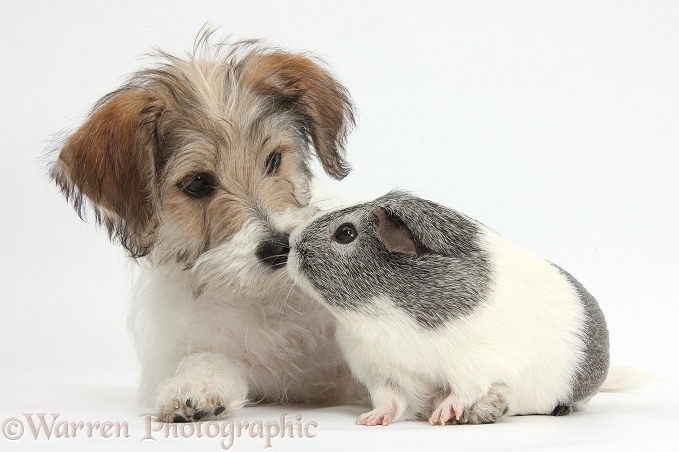 Bichon Frise x Jack Russell Terrier puppy, Bindi, 12 weeks old, with silver-and-white Guinea pig, white background