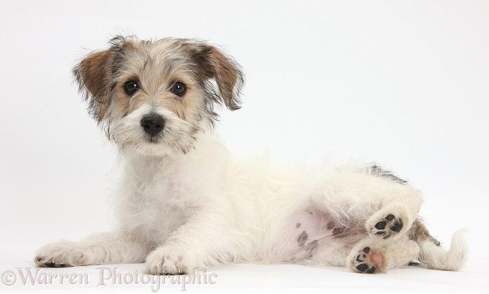Bichon Frise x Jack Russell Terrier puppy, Bindi, 12 weeks old, lying with head up, white background