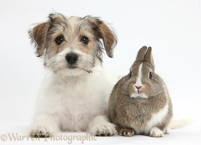Bichon Frise x Jack Russell Terrier puppy, Bindi, 12 weeks old, standing with young Netherland rabbit, white background