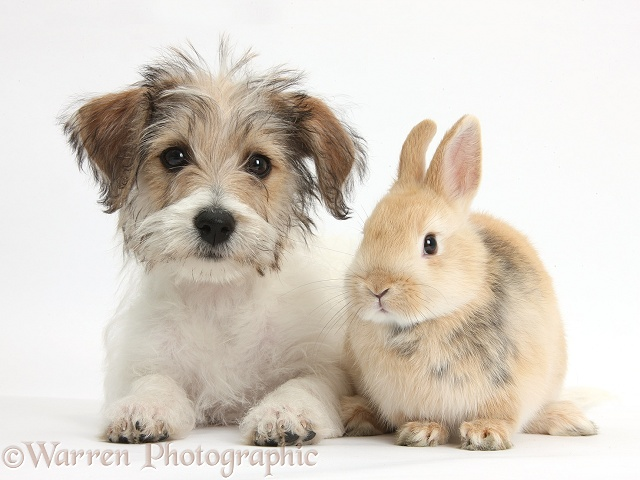 Bichon Frise x Jack Russell Terrier puppy, Bindi, 12 weeks old, with young sandy Netherland rabbit, white background