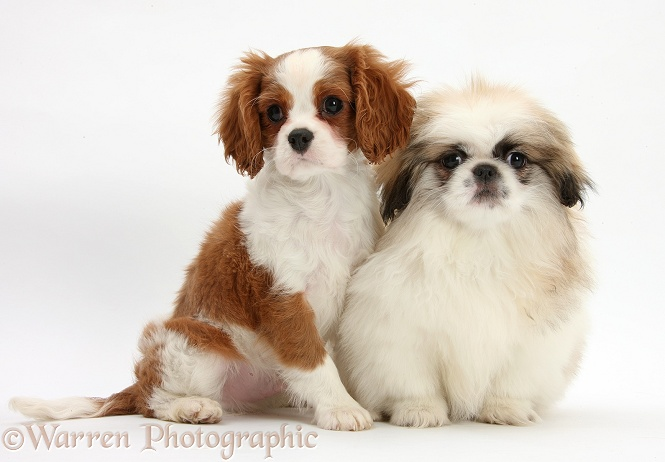 Blenheim Cavalier King Charles Spaniel pup, Harvey, 11 weeks old, with Parti colour Pekingese pup, Kiki, also 11 weeks old, white background