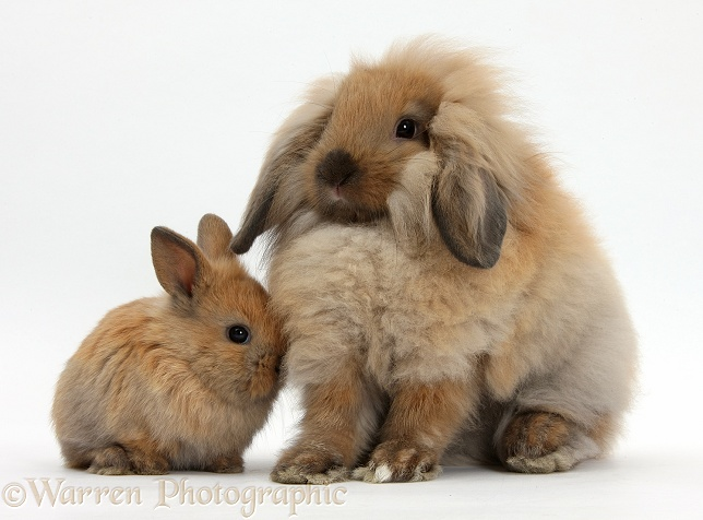 Fluffy Lionhead x Lop rabbit, and cute baby bunny, white background
