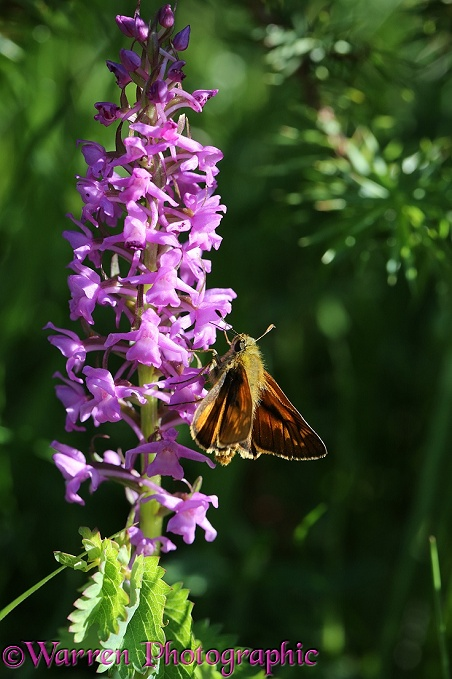 Large Skipper Butterfly (Ochlodes venatus) nectaring on an orchid flower, French Pyrenees