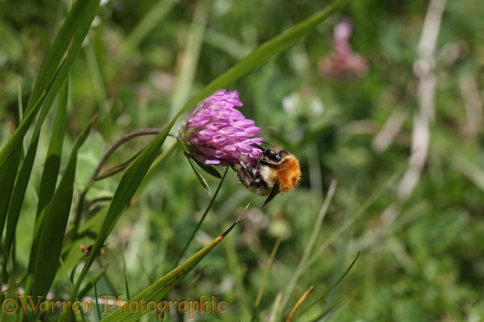 Orange-backed Bumble Bee (Bombus muscorum) nectaring on red clover, French Pyrenees