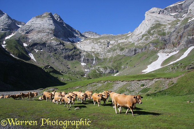 Cattle in Le Cirque de Troumouse.  French Pyrenees