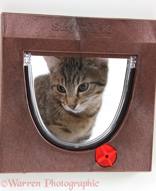 Tabby male kitten, Stanley, 3 months old, looking through a cat flap, white background