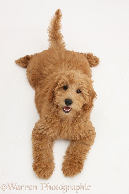 Cute red toy Goldendoodle puppy, Flicker, 12 weeks old, lying sprawled out and looking up, white background