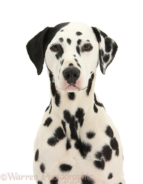 Dalmatian dog, Jack, 5 years old, with one black ear, white background