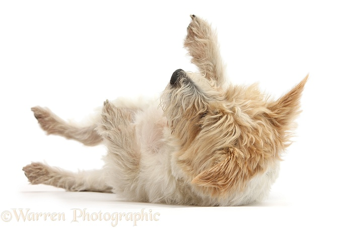 Terrier-cross bitch, Gypsie, 3 years old, lying in submissive posture, white background