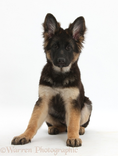 German Shepherd Dog bitch pup, Coco, 14 weeks old, sitting, white background