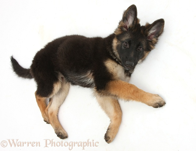 German Shepherd Dog bitch pup, Coco, 14 weeks old, lying on her side, white background