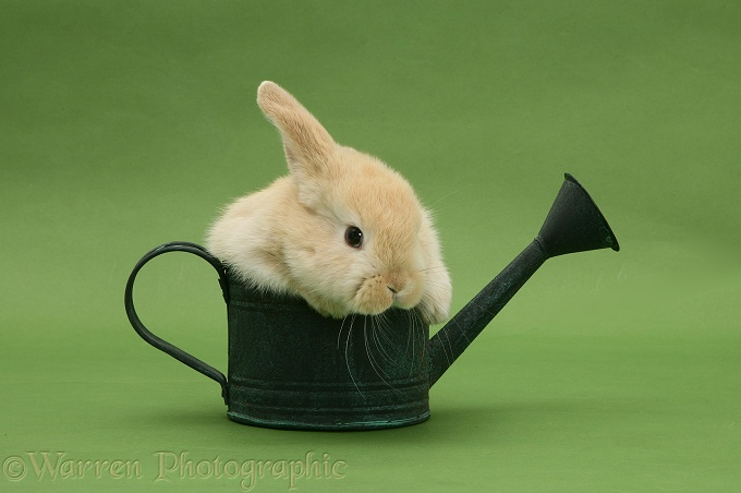 Young Sandy Lop rabbit in a watering can on green background
