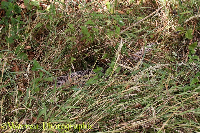Common Pheasant (Phasianus colchicus) hen on nest incubating eggs