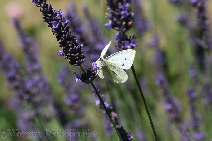 Small White Butterfly (Pieris rapae) taking off form lavender